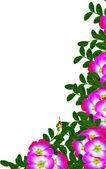 Dog rose (Rosa canina) flowers on a white background — Stock Photo