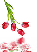 Vårblommor tulpaner isolerad på vit bakgrund — Stockfoto