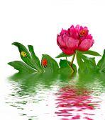 Peony flowers isolated on white background — Stock Photo