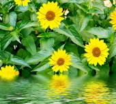Summer landscape. Flowers rudbeckia — Stock Photo
