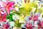 Garden, lily flowers — Stock Photo