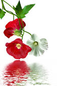 Mallow flowers with leaves isolated on white background — Stock Photo