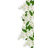 Ramo de flores de jasmim isolado no fundo branco — Fotografia Stock