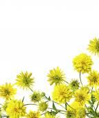Beyaz arka plan üzerinde izole dahlia çiçeği — Stok fotoğraf