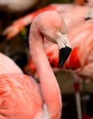 Chilean Flamingo Phoenicopterus chilensis — Stock Photo