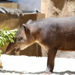 Brazilian tapir, Tapirus terrestris south American tapir — Stock Photo #57422591