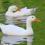 White Pekin Duck Long Island ducks Anas platyrhynchos domestica — Stock Photo #57424909