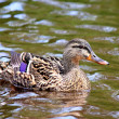 Female Duck in grass Mallard Ducks — Foto de Stock   #57425271