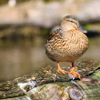 Female Duck in grass Mallard Ducks — Stock fotografie #57425303