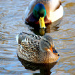 Female Mallard Duck Ducks walking in grass — 图库照片 #57425365
