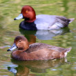 Couple of Redhead Ducks Female Duck swimming in front and male in back — Stock Photo #57425629