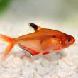 Serpae Tetra Barb Hyphessobrycon serape eques freshwater aquarium fish — Stock Photo #57426139