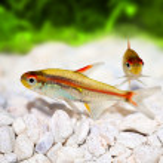 Glowlight Tetra Hemigrammus erythrozonus freshwater aquarium fish — Stock Photo #57426159