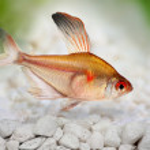Bleeding Heart Tetra Hyphessobrycon Eryhrostigma aquarium fish — Stock Photo #57426175