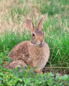 Wild rabbit in grass — Stockfoto