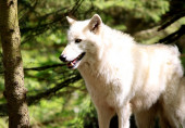 在森林里的白狼 — 图库照片