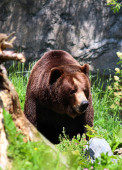 Brown Bears in wild — Stock Photo