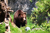 Brown Bears in wild — Photo