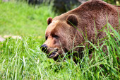 Brown Bears in wild — Foto Stock