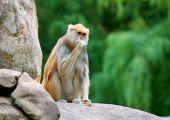 Patas monkey Erythrocebus patas sitting on rock eating — Stock Photo