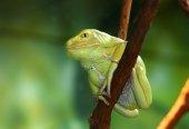 Waxy Monkey Frog Phyllomedusa sauvagii sitting on branch — Stock Photo