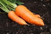 Fresh harvested carrots in garden grown — Stock Photo