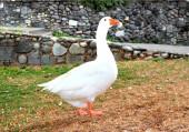 白鹅 — 图库照片