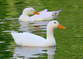 White Pekin Duck Long Island ducks Anas platyrhynchos domestica — Stock Photo