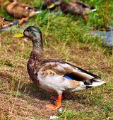 Wild Ducks Mallard Male Duck — Stock Photo