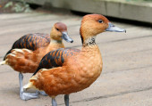 Fulvous Whistling Duck Dendrocygna bicolor Whistling-Duck tree Ducks — Stock Photo