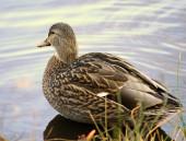 Female Mallard Duck Ducks walking in grass — Stock Photo