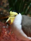 Maskenkiebitz vogel — Stockfoto