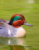 Green-Winged Teal Duck swimming — Stock Photo