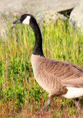 Canadian Goose walking Geese in grass — Stock Photo