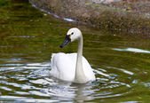White Tundra Swan Cygnus columbianus bewickii whistling swan — Stock Photo