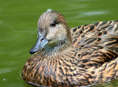 Couple of Falcated Ducks Female swimming in back — Stock Photo