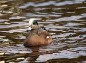 American Wigeon Swimming Duck — Photo