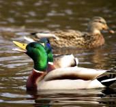 Male Duck Mallard — 图库照片