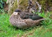 Hottentot Teal Duck Anas hottentota Ducks — Stockfoto