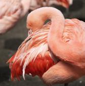Chilean Flamingo (Phoenicopterus chilensis) — Stock Photo
