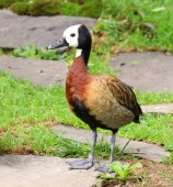 White Faced Whistling Duck Dendrocygna viduata White-Faced — Stock Photo