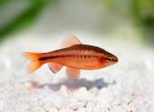 Cherry barb , Puntius titteya freshwater aquarium fish Barbus titteya — Stok fotoğraf