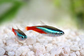 Neon Tetra Paracheirodon innesi freshwater tropical fish — Stock Photo