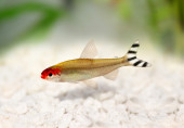 Rummy-nose Tetra Hemigrammus rhodostomus bleheri freshwater aquarium fish — Stock Photo