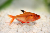Serpae Tetra Barb Hyphessobrycon serape eques freshwater aquarium fish — Stock Photo