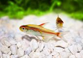 Glowlight Tetra Hemigrammus erythrozonus freshwater aquarium fish — Stock Photo