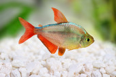 Red-blue Columbian Tetra Hyphessobrycon columbianus — 图库照片