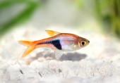Rasbora Het Harlequin rasbora heteromorpha freshwater aquarium fish — Stock Photo