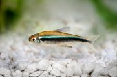 Black Neon Tetra Hyphessobrycon herbertaxelrodi freshwater aquarium fish — Stock Photo