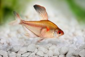 Bleeding Heart Tetra Hyphessobrycon Eryhrostigma aquarium fish — Stock Photo